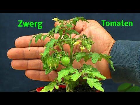 Tomaten für den Balkon Zwergtomaten und anderes aus dem Garten