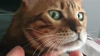 Bengal Cat Lifts Chin Like Old Man When Getting Scratched