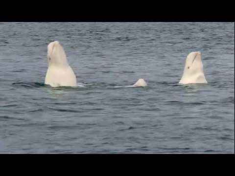 Beluga Whale Playtime at Arctic Watch Wilderness Lodge
