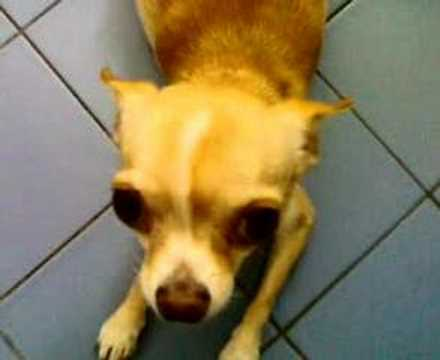 My Chihuahua Dog Pregnant (part 2). Order: Reorder; Duration: 1:52 ...