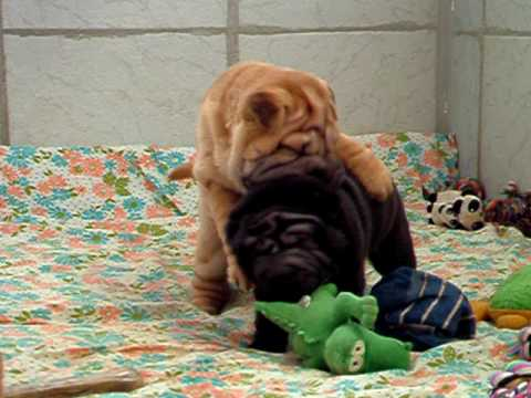 Shar-pei puppies Video
