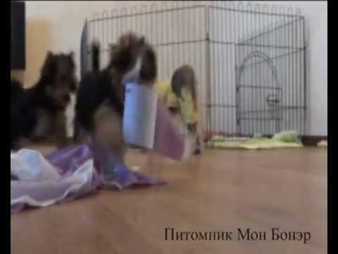 Видео как выбрать щенка йоркширского терьера
