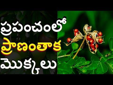 ప్రపంచంలో అత్యంత ప్రమాదమైన ప్రాణంతాక వృక్షాలు  The World Most poisonous deadliest Tree Telugu media