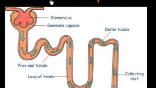 Function of Nephrons
