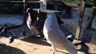 Aunties Runts King Pigeons