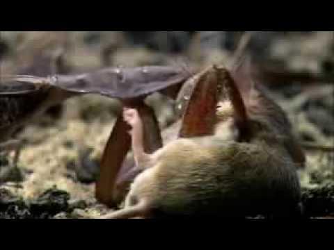 Mantis cazando Ratón