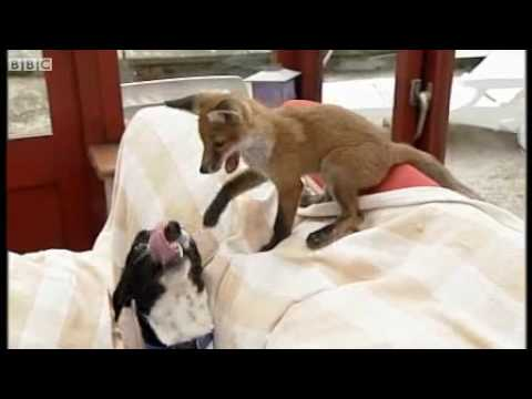 Fox kit becomes friends with Dog