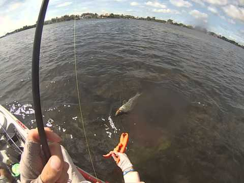 Kayak fishing in Sarasota Bay and caught keeper snook Oct.  2013
