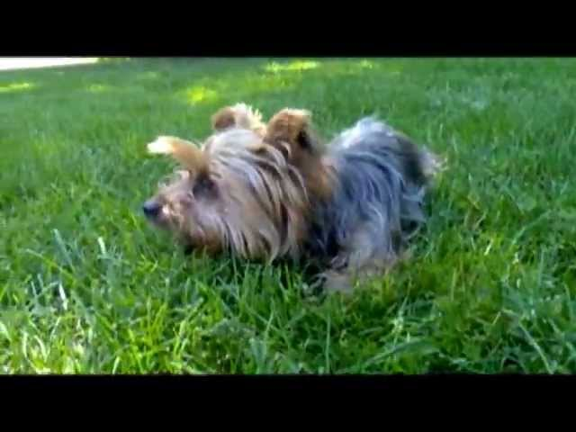 Funny dog video!  How to catch a naughty Yorkie...