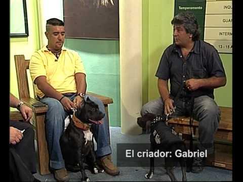 American pit bull terrier :: gamedogs :: apbt