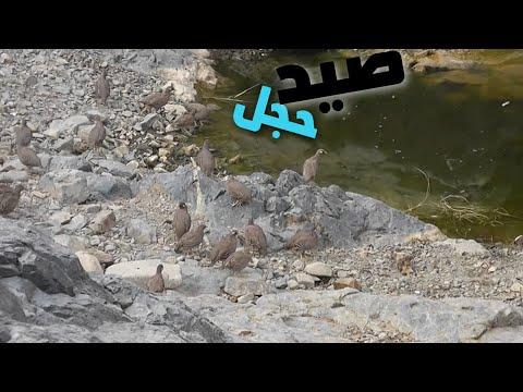 صيد حجل Saudi Arabia Hunting