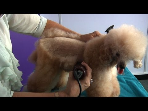 Grooming Guide Toy Poodle Pet or Salon Trim Pro Groomer