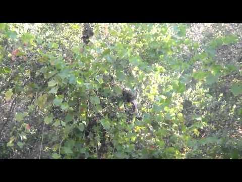 Raccoon family climbing a grape vine tree in back yard today in upper Ojai California nice