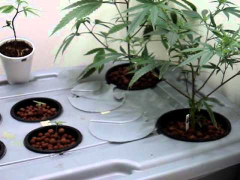 hydroponic marijuana dwc system youtube. Black Bedroom Furniture Sets. Home Design Ideas