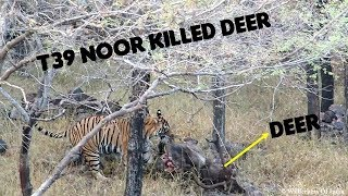Ranthambore Tiger Sighting | T39 Noor Eating Sambar Deer