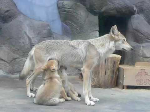 天王寺動物園 チュウゴクオオカミ-2009.05.16-2