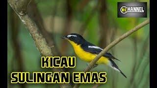 Suara Burung Sikatan atau Sulingan Emas di Hutan