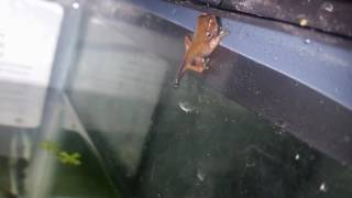 raising my baby red eyed tree frogs