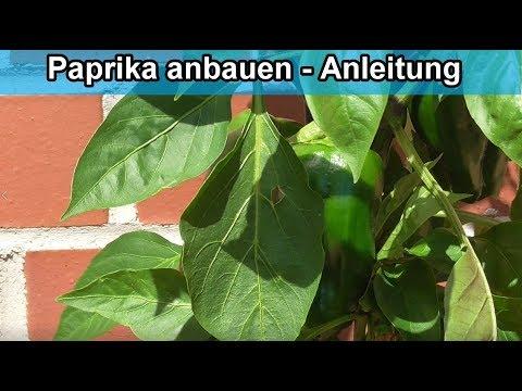 Paprikapflanze aus Kern selber ziehen / züchten – Paprika anbauen - Anleitung