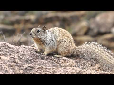 Gray squirrel Grand Canyon