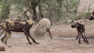 Hyena vs wild dogs