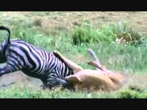 Top 10 the most beautiful animal hunts (by odissey505)