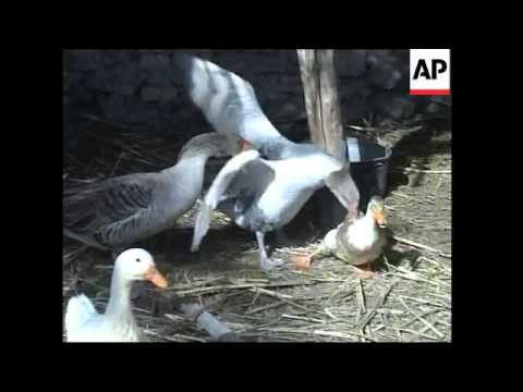 Birds tested for type of bird flu, not fatal to humans