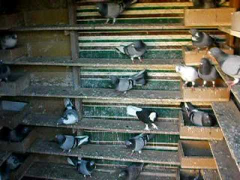 Pigeons Vouta AUS