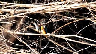 A Female Kingfisher Has Caught A Big Fish In The Kurome Creek