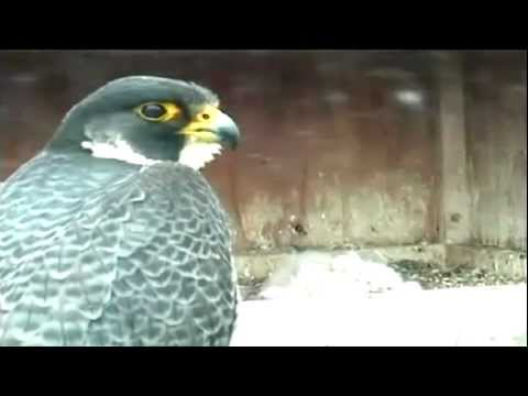 Peregrine Falcon Chicks Banded (May 14, 2012)