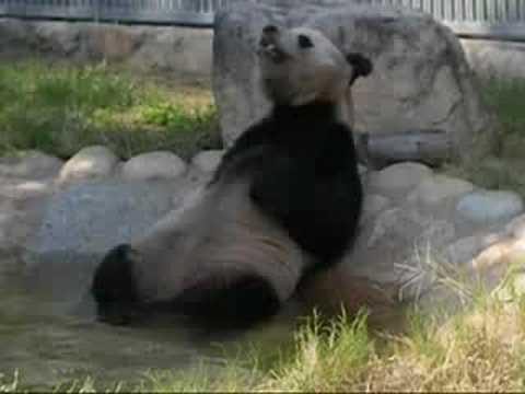 温泉パンダ  The panda takes a hot spring bath.