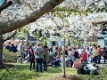 Discover the International Cherry Blossom Festival in Macon, GA