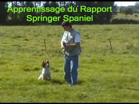 Vidéos Springer anglais, chiens de race Springer anglais
