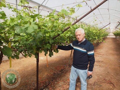 Виноград технология выращивания 76