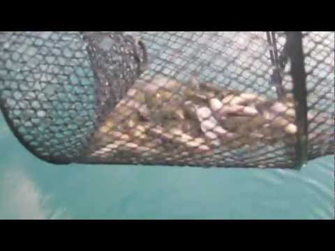 How to catch minnows for crappie or bass fishing youtube for Crappie fishing with minnows