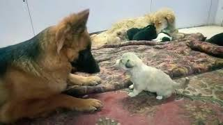 Puppy playing with German shepherd GSD #gsd #puppy #playing