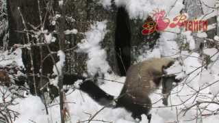 Харза и первый снег Indian marten in the Russian snow