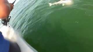 Un tiburón es comido por un mero gigante cuando lo pescaban