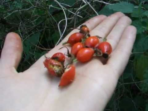 Rose hips: free vitamin C - and how to make itching powder :)