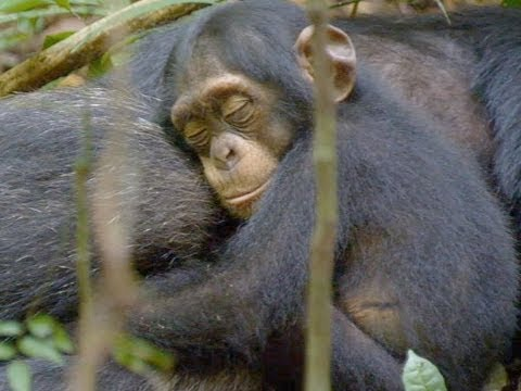 Chimpanzee Trailer 2 Official 2012 [HD]