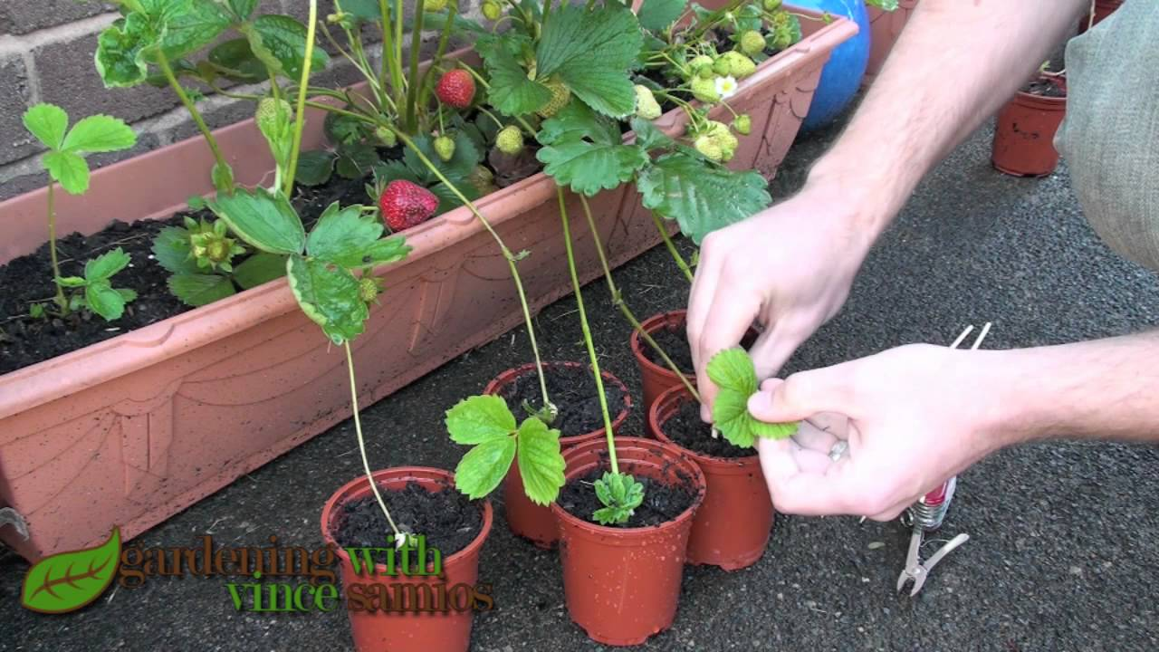 Planting Strawberry Runners Propagating Strawberries The