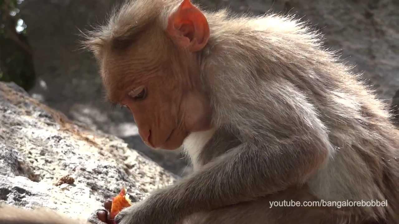 Gingee: Small Monkeys, huge Cock - YouTube