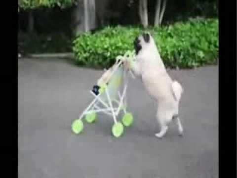 Pug walking puppy in stroller