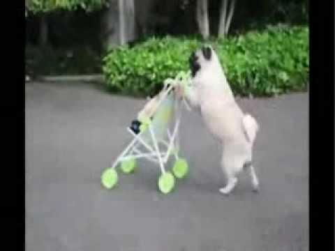 Pug walking puppy in stroller