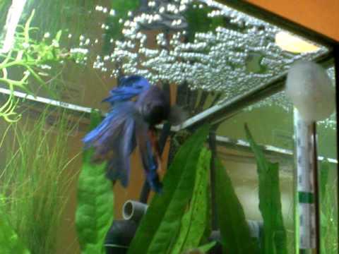 20l aquarium fish tank betta fish breeding amano shrimp for Bubbles in betta fish tank