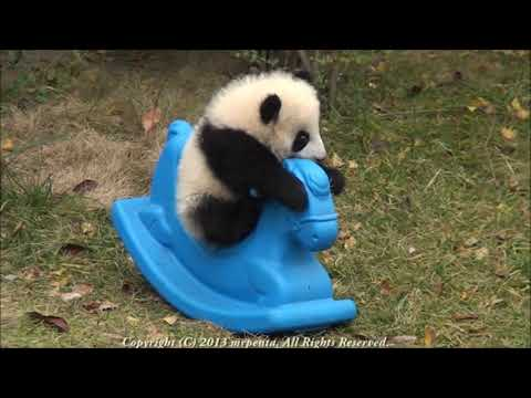 Panda baby playing on Pony 2013 December  大熊猫 パンダ 成都