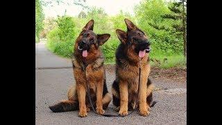 Funny German Shepherds