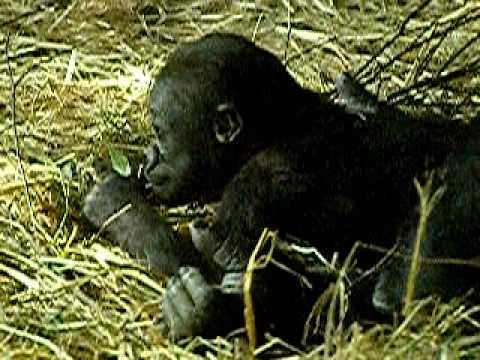 上野動物園のニシローランドゴリラの親子、モモコとコモモ-029