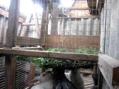 Разведение кроликов в ямах,