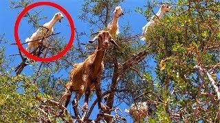 Epic Strange Tree Goats !